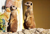 Suricata in the zoo — Foto Stock