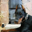 Dobermann lies near fireplace — Stock Photo