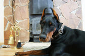 Dobermann lies near fireplace — Foto Stock