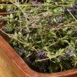 Dried herbs Thymus serpyllum — Stock Photo