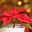 Poinsettia — Stock Photo #26916073