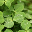 Clover — Stock Photo