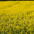Rape field — Stock Photo #29438739