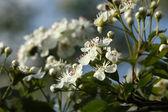 çiçek açan alıç — Stok fotoğraf