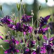 Aquilegia vulgaris — Stock Photo