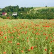 Poppy field — Stock Photo #29442427