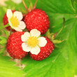 Strawberry macro — Stock Photo