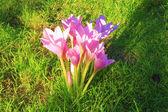 Autumn crocus flowers — Stock Photo