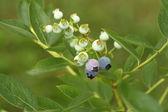 Blueberry shrub — Stock Photo