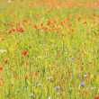 Wild flower field — Stock Photo