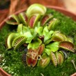 Venus flytrap — Stock Photo #32879289