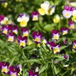 Wild pansy — Stock Photo
