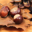 Autumnal chestnut — Stock Photo