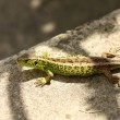 Viviparous Lizard — Stock Photo