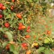 Wild rose hip — Stock Photo