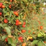 Wild rose hip — Stock Photo