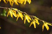 Spring forsythia — Stock Photo