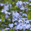 Forget me not flowers — Stock Photo #35686697
