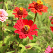 Zinnia flowers — Stock Photo