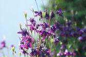Mor aquilegia çiçek — Stok fotoğraf