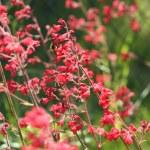 Heuchera flowers — Stock Photo #37143919