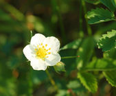 Wild strawberry flower — Stock Photo