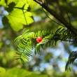 Yew tree — Stock Photo