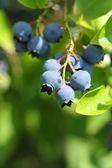 Highbush blueberries — Stock Photo