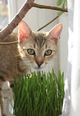 Cat eating grass — Stock Photo