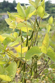 Soybean plant — Stock Photo