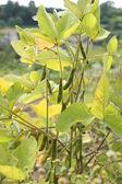 Soybean plant — Stock Photo