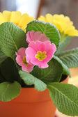 Primrose flower in pot — Stock Photo