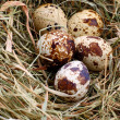 Quail dappled egg in straw, close-up — Stock fotografie #33581061