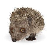 Hedgehog — Stockvektor