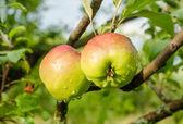 Duas maçãs em um galho — Foto Stock