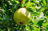 Green pomegrante — Stock Photo