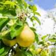 Two yellow pears on a branch with green leafs on the background — Stock Photo #33722159