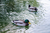 Ducks swimming — Foto Stock