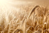 Golden ear in a wheat field — Stock Photo