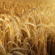 Sunbeam in a wheat field — Stock Photo