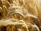 Wheat ears under sun close up — Stock Photo