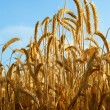 Some wheat ears with blue sky — Stock Photo