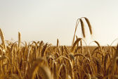Two wheat ears rise high above the field — Stock Photo