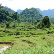 Ricefield in Vietnam — Stock Photo