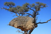 Weaver Bird Nest — Stock Photo