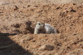 A Prairie Dog in Namibia — Stock Photo