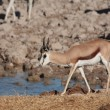 Stock Photo: Springbok at Waterhole