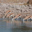 Springbok at a Waterhole — Stock Photo