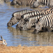 Zebras at a Waterhole — Stock Photo