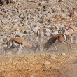 Foto Stock: Springbok are fighting in etosha
